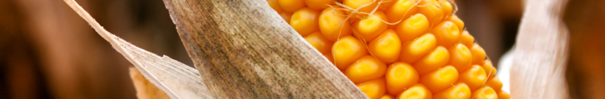 Seed corn harvest
