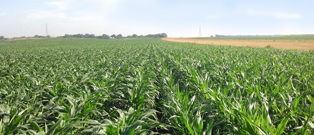 Rows of Specialty Seed Corn