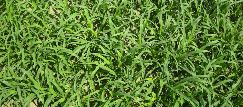 Cover Crops protect soil from wind and erosion.